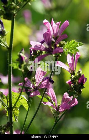 Wilde Malve, Rosspappel (Malva sylvestris) - rosa Blüten - Stock Photo