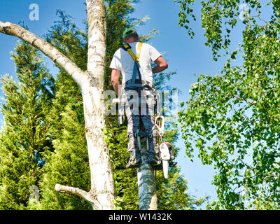 Close-up mature professional male tree trimmer high in top birch tree cutting branches with gas powered chainsaw and attached with headgear for safe j - Stock Photo