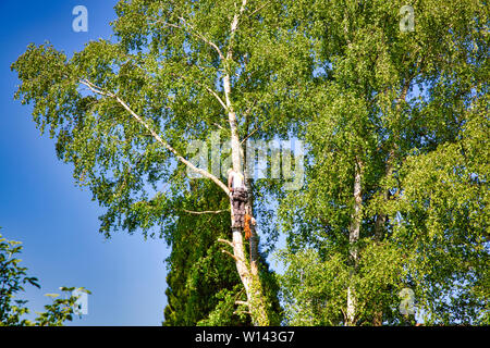 Mature professional male tree trimmer high in top birch tree cutting branches with gas powered chainsaw and attached with headgear for safe job. Exper - Stock Photo