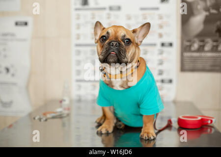 Funny brown french bulldog sits on table visit veterinarian. - Stock Photo