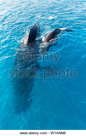 Humpback Whales, Mother and Calf, Fraser Island, Queensland, Australia - Stock Photo