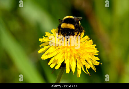 A bumble bee imsect collecting nectar from a dandelion flower has a tick stuck in the yellow band on his back. - Stock Photo