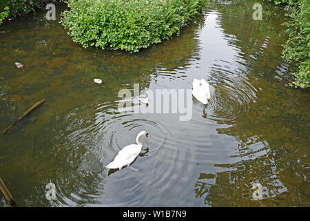 Swans with cygnets on Stover lake - Stock Photo