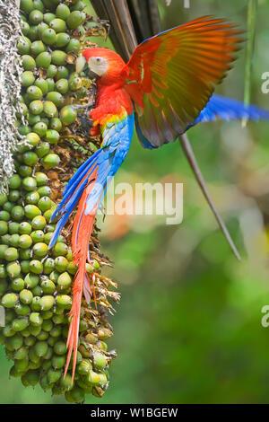 Scarlet Macaw (Ara macao), Corcovado National.Park, Osa Peninsula, Costa Rica - Stock Photo