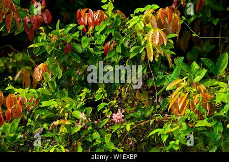 PLUMED BASILISCK - BASILISCO VERDE (Basiliscus plumifrons), Santa Elena Cloud Forest Nature Reserve, Costa Rica, Central America, America - Stock Photo