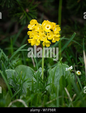 Closeup of mountain cowslip (Primula auricula, Primulaceae) in the Austrian Alps - Stock Photo