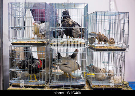 Chickens in cage - Stock Photo