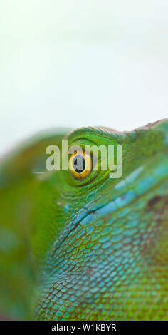 PLUMED BASILISCK - BASILISCO VERDE (Basiliscus plumifrons), Santa Elena Cloud Forest Nature Reserve, Costa Rica, Central America, America - Stock Photo