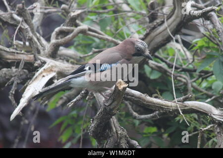 Jay in dying tree in garden in Wimbledon, South London, UK - Stock Photo