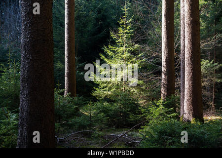 Spruce, Picea abies, Bavaria, Germany, Europe - Stock Photo