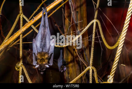 closeup of a lyle's flying fox hanging on a branch, Tropical and vulnerable bat specie from Asia, Nocturnal halloween animal - Stock Photo
