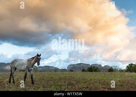 horse, Mogotes and tobacco fields in Vinales, climbing region, loneliness, countryside, beautiful nature, family travel to Cuba, parental leave, holid - Stock Photo