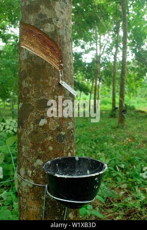 Rubber plantation in Thailand Abundant. Rubber production. - Stock Photo
