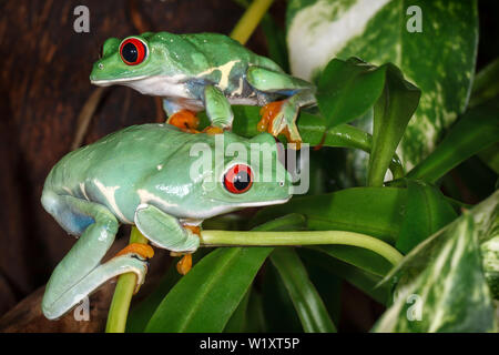 Two red eyed tree frogs playing betweens plants in the terrarium - Stock Photo