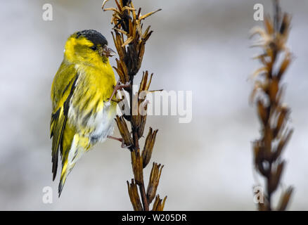 Adult male Eurasian Siskin sits on dry grass extracting seed with its beak - Stock Photo