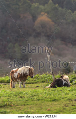Two horses together on the pastures of a farm in Asturias,Spain - Stock Photo