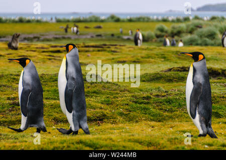 Three King Penguins -Aptenodytes patagonicus- engaging in a courtship ritual on Salisbury plains, South Georgia - Stock Photo