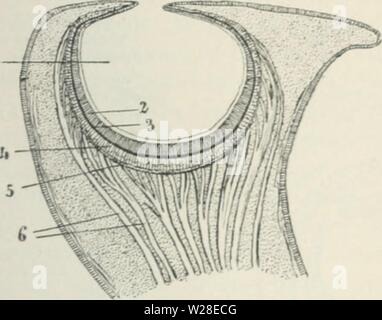 Archive image from page 433 of Das Werden der Organismen; zur - Stock Photo
