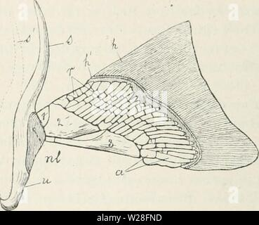 Archive image from page 448 of Das Werden der Organismen; zur - Stock Photo