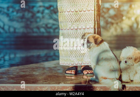 Little cute dogs wait to welcome guests in front of the hotel in the morning. - Stock Photo