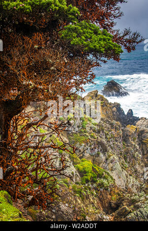 Red Cypress trees along rocky coast with surging sea beyond in California. - Stock Photo