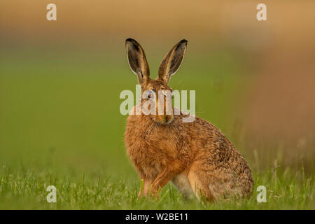 Brown Hare sat out at the edge of tall grasses on a field in North Norfolk, UK - Stock Photo