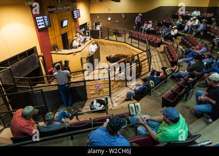 USA, Oklahoma, Oklahoma City, Oklahoma National Stockyards, cattle auction - Stock Photo