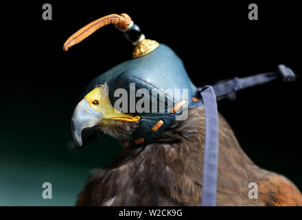 London, UK. 8th July, 2019. Rufus The Wimbledon Hawk, The Wimbledon Championships 2019, 2019 Credit: Allstar Picture Library/Alamy Live News - Stock Photo