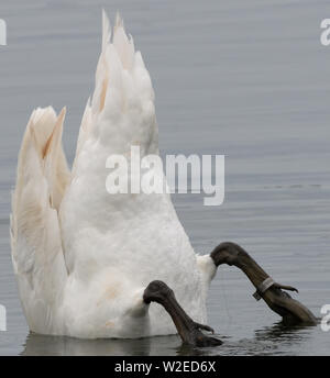 Bottoms up! A swan (Cygnus olor) feeds on subaqueous vegetation in water as deep as it can manage with its outstretched neck. Rye Harbour Nature Reser - Stock Photo