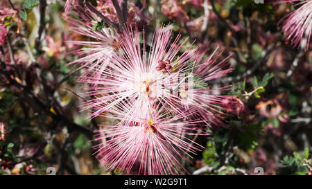 close up of fairyduster flowers in arizona - Stock Photo