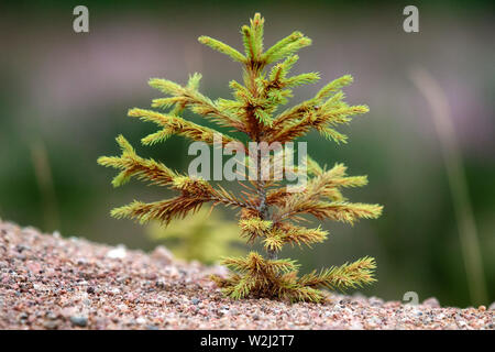 Afforestation. Young firs planted (regrowth) on plot with sandy soil, spruce undergrowth. Small trees in summer - Stock Photo