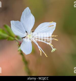A macro shot of a white guara the bride bloom. - Stock Photo
