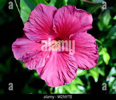 Pink flowering hibiscus close-up - Stock Photo