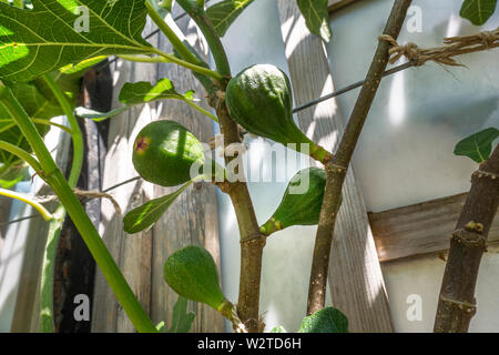 FIG Spring growth Ficus carica 'Brown Turkey' Fig Family Moraceae Trained Tree Deciduous ('Brown Naples') is a prolific and reliable variety. In long hot summers it will produce an abundant crop of brown, pear-shaped fruit with red flesh. - Stock Photo