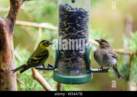 A male Siskin (Carduelis spinus) finch and a female Chaffinch (Fringilla coelebs) on a garden bird seed feeder in a pine forest. Scotland, UK, Britain - Stock Photo