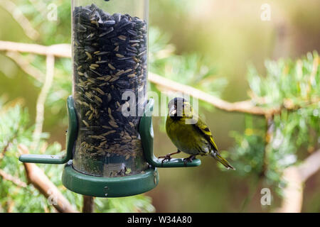 A male Siskin (Carduelis spinus) finch eating a seed from a garden bird feeder in a pine forest. Scotland, UK, Britain - Stock Photo