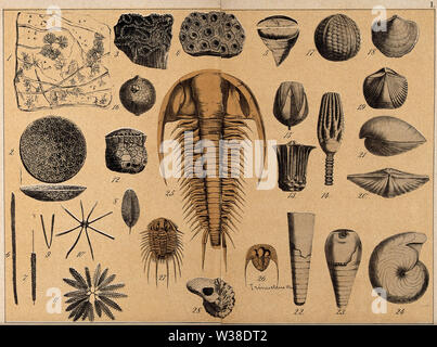 A variety of shells, cone-shells, fossils and corals. Coloured lithograph. - Stock Photo