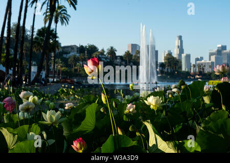 Los Angeles, USA. 13th July, 2019. Lotus flowers are seen during the 2019 Lotus Festival in Los Angeles, the United States, July 13, 2019. Credit: Qian Weizhong/Xinhua/Alamy Live News - Stock Photo