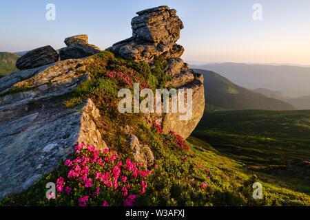 Pink rose rhododendron flowers near big boulder on early morning summer mountain slope, Carpathian, Chornohora,  Ukraine. - Stock Photo
