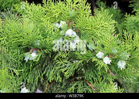 Cupressus leylandii or Leylan cypress fruits close up - Stock Photo