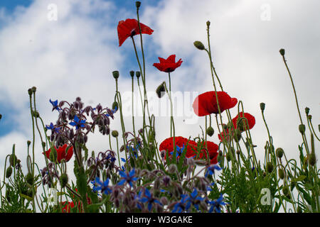 close up view of british wildflowers including commin poppy, borage, chamomile, yellow, daisys and forget-me-nots. - Stock Photo