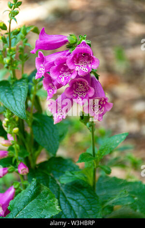 Pink Common Foxgloves. Digitalis purpurea. The terminal flower spike has numerous downward-facing bell-shaped flowers which are heavily spotted inside. - Stock Photo