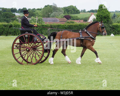 A bay welsh cob in full driving harness being driven in a carriage. - Stock Photo