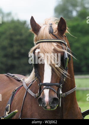 A bay welsh cob in full driving harness. - Stock Photo