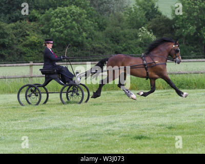 A bay welsh cob in full driving harness being driven in a four wheel buggy. - Stock Photo
