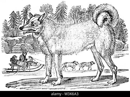 Wood cut engraved illustration, taken from 'Thomas Bewick 'A General History of Quadrupeds', Published by T. Bewick, Longman and Co. Printed by Edward - Stock Photo