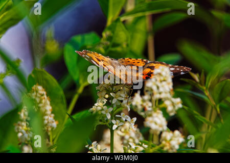 Painted lady butterfly (Cynthia Cardui) with opened wings on white flower of privet hedge - Stock Photo