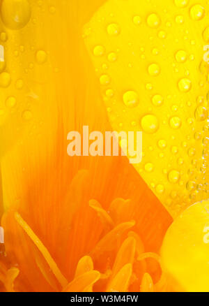 Yellow and orange poppy flower head super close up of stamen and water drops with a large puddle of water and reflections. Nature in macro with garden - Stock Photo
