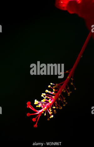 Stamens and pollen on stalks holding long pollen of red hibiscus flower - Stock Photo