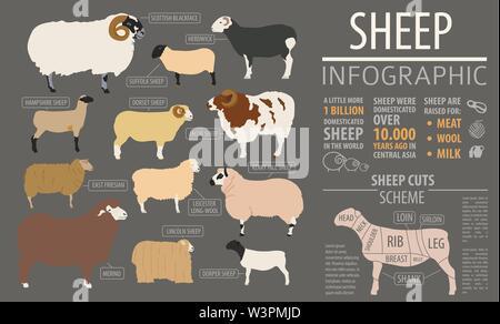 Sheep breed infographic template. Farm animal. Flat design. Vector illustration - Stock Photo